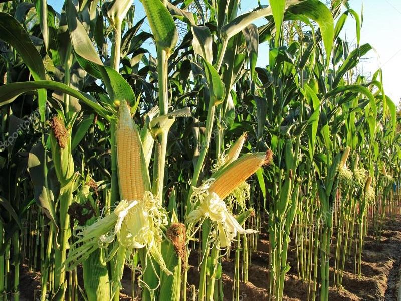 plantação milho
